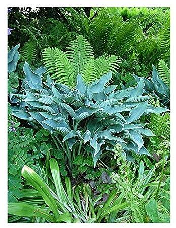 Hosta Krossa Regal Amazoncouk Garden Outdoors