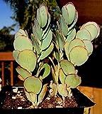 """Kalanchoe Marnieriana Plant, 4"""" Pot"""