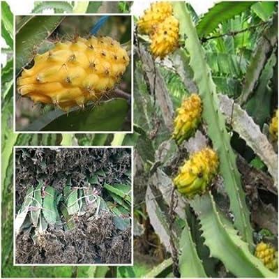Hylocereus megalanthus 1 Rooted Yellow Dragon Fruit Pitahaya Rare Plant 12'' : Garden & Outdoor