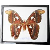"REAL VERY BIG SIZE ATLAS MOTH FRAMED DISPLAY INSECT TAXIDERMY SIZE 11""X9""X1"""