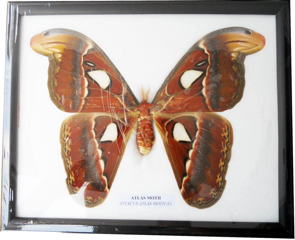 REAL VERY BIG SIZE ATLAS MOTH FRAMED DISPLAY INSECT TAXIDERMY SIZE 11''X9''X1'' by Thai