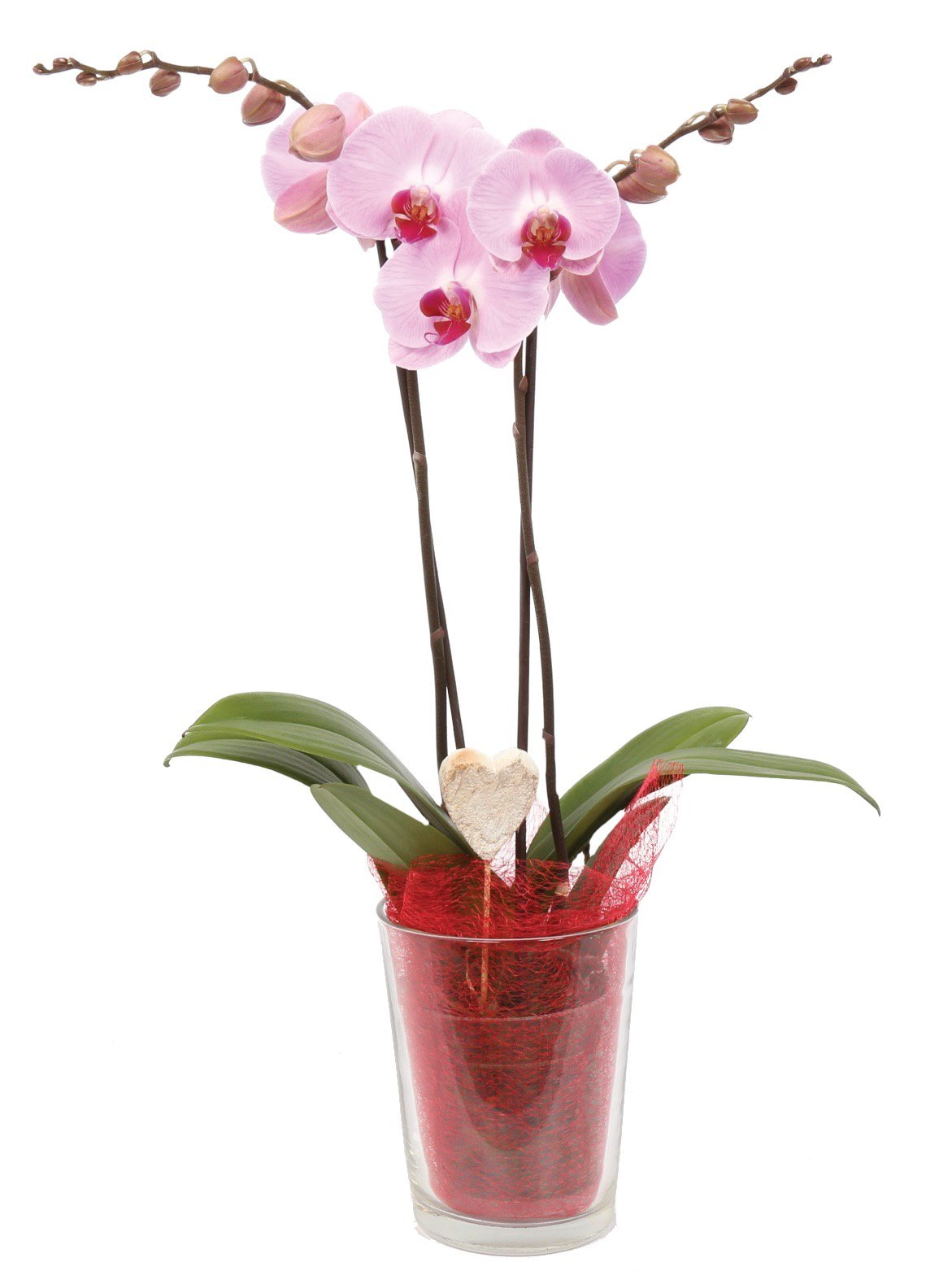 Color Orchids 73477 Live Holiday Blooming Double Stem Phalaenopsis Orchid Plant in Glass Pot, 20''- 24'' Tall, Red Valentines with Heart Pick