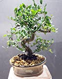 Indoorbonsaiexotics Imported Chinese Elm Bonsai Tree 12yrs Old