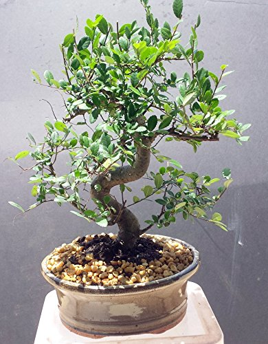 Chinese Elm Tree Bonsai (Indoorbonsaiexotics Imported Chinese Elm Bonsai Tree 12yrs Old)