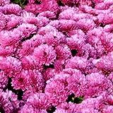 lichtnelke - Herbstchrysantheme ( Dendranthema indicum ' Rosensilber ' )