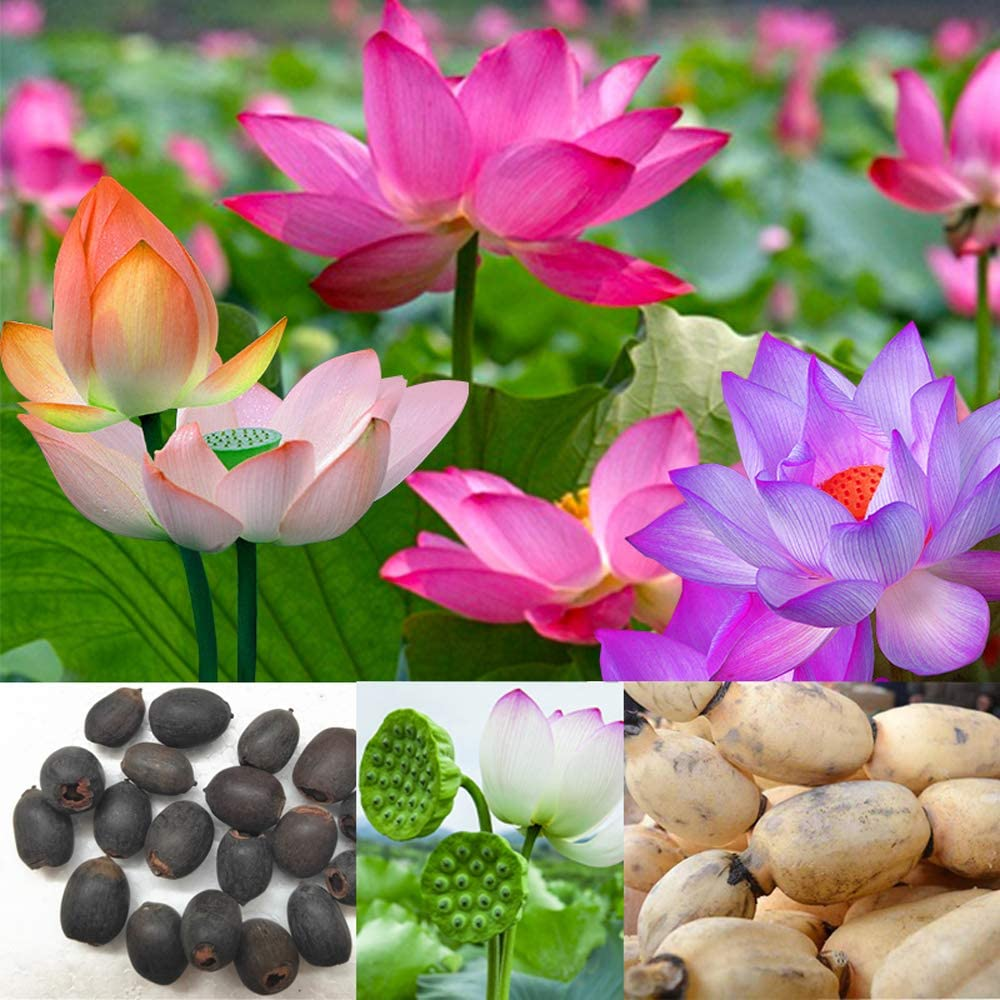 Lotus Root Seeds,20PCS Edible Plant Fruit Seed,Grow Beautiful Lotus Flowers and Roots for Home Garden,Organic Healthy Vegetable Seed