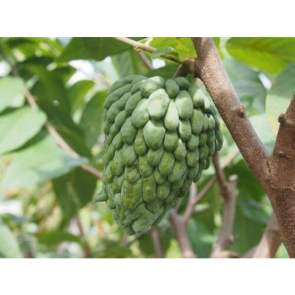 Atemoya Tropical Fruit Trees 36'' Height in 3 Gallon Pot #BS1 by iniloplant (Image #1)