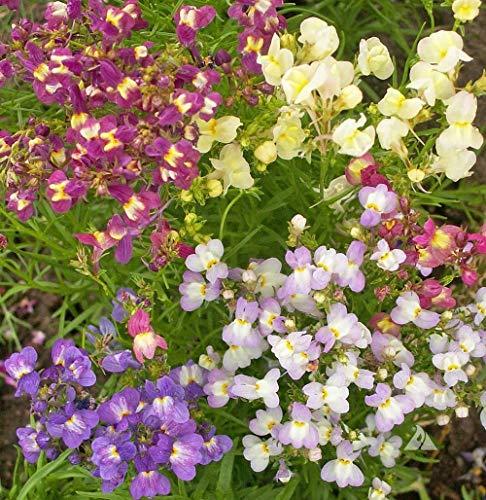 (David's Garden Seeds Flower Snapdragon Spurred Fairy Bouquet SL0348 (Multi) 500 Non-GMO, Hybrid Seeds)
