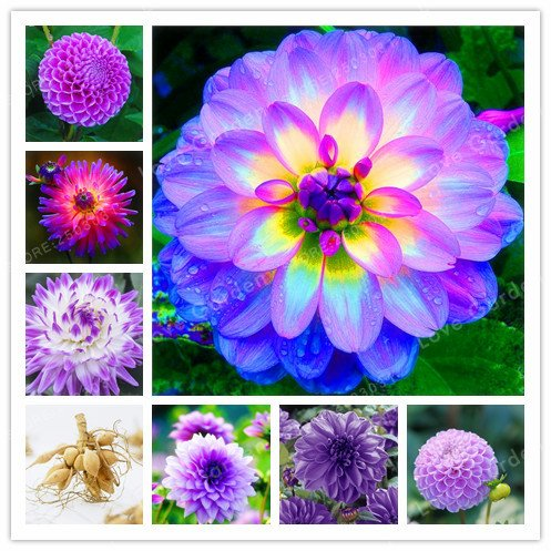 (Hot Sale 1 Bulb Purple Dahlia Bulbs Beautiful Perennial Dahlia Flower Bulbs Bonsai Plant DIY Home)