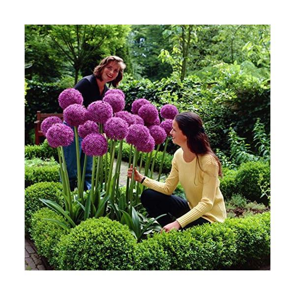 Ncient 10/20/50/100 Semi Sementi di Allium Giganteum Semi di Fiori Rari Piante Profumati per Orto Giardino Balcone… 5 spesavip