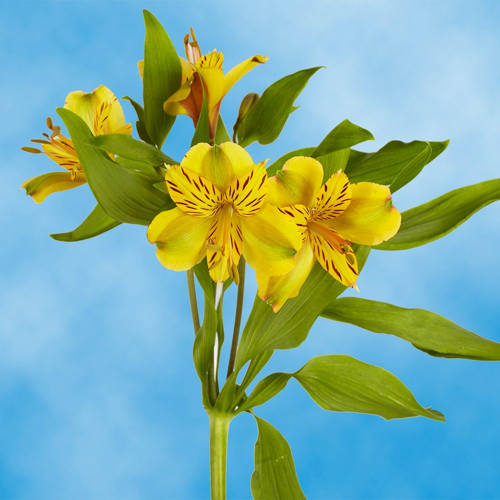 GlobalRose 240 Blooms of Yellow Select Alstroemerias 60 Stems - Peruvian Lily Fresh Flowers for Delivery