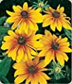 Gloriosa Daisy Big - Six-inch Blooms!! Will attract butterflies!!