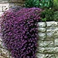 "Heirloom 50+ Perennial Flowering Groundcover Seeds - Rock Cress - ""Cascading Purple"""