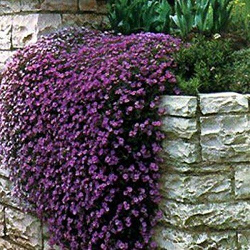"Cheap Heirloom 50+ Perennial Flowering Groundcover Seeds - Rock Cress - ""Cascading Purple"""