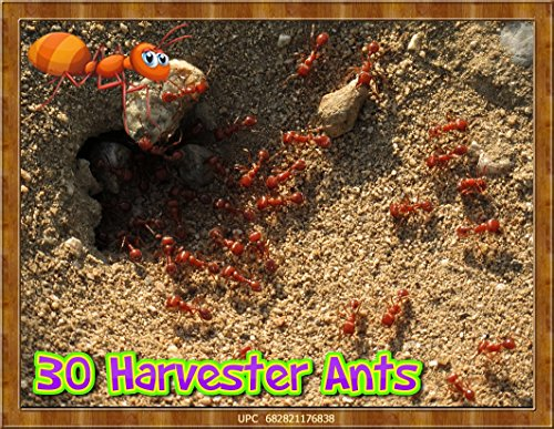 live-ants-for-ant-farms-with-free-ant-food-30-healthy-red-harvester-ants