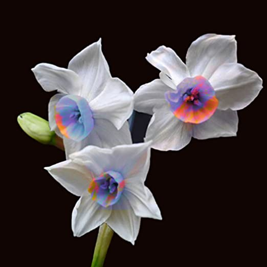 Ncient 100 Semillas de Narciso Daffodil Semillas para Huertos Semillas Flores Raras Plantas Bonsai para Jardín Balcon Interior y Exteriores: Amazon.es: Jardín
