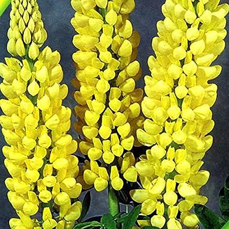 Flower Seeds Lupine from Ukraine perennials