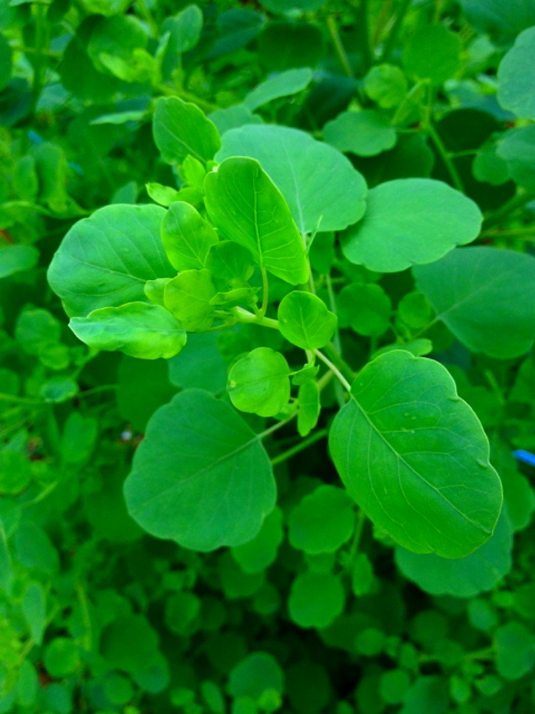 Papalo 100 Seeds - New Mexican Herb used like Cilantro - Porophyllum ruderale by Hirt's Gardens (Image #1)