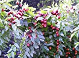 20 RED CHINESE DATE TREE Edible Fruit Jujube Ziziphus Jujuba Yellow Flower Seeds