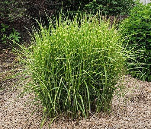 miscanthus sinensis 'zebrinus' Zebra Grass 30 Seeds Hardy Perennial ukfreep&p