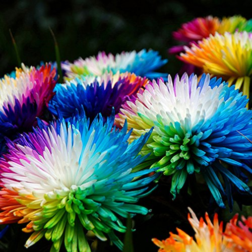 (Rose Iris Tectorum Sunflower Cobaea Scandens Seed, 10Pcs Rainbow Chrysanthemum Flower Seeds Balcony Garden Decor Bonsai Planting)