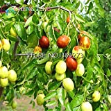 shopmeeko hot Sale 20pcs/lot Big Japanese jujube Plants Honey Sweet Fruit Seeds DIY Plant Tree Seeds semillas for Home gardenp: Multi-Colored
