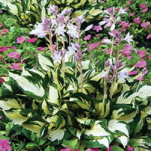 Fire and Ice Variegated Hosta - Live Plant - Quart Pot by New Life Nursery & Garden (Image #1)