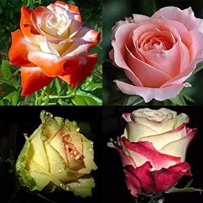newshijieCOb 40Pcs Rose Flower Seeds Ornamental Plant Perennial Plant Fragrant Flower Bonsai Potted Home Office Garden Balcony Yard Floral Decor - Mix-Color Rose Seeds : Garden & Outdoor