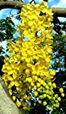 GOLDEN SHOWER TREE, Cassia fistula, rare gold rush yellow flower seed 10 seeds