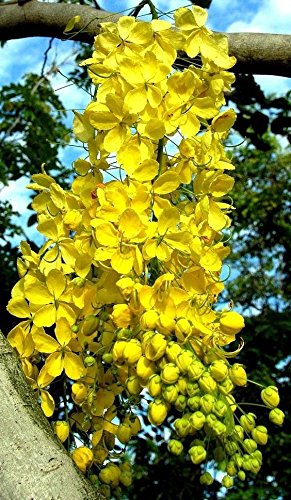 Amazon com : GOLDEN SHOWER TREE, Cassia fistula, rare gold