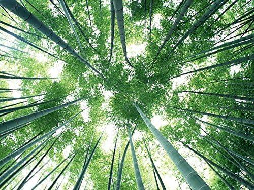 50 semillas de bambú verde piezas de semillas frescas gigante Moso bambú para plantas del jardín de las semillas de siembra en macetas Hermoso envío libre: Amazon.es: Jardín
