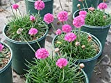 Sea Pink aka Armeria maritima 'Rubrifolia' Live Plant Fit 1 Gallon Pot
