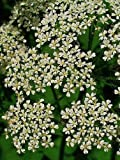 200 BISHOPS FLOWER (False Queen Annes Lace) Ammi Majus Fabaceae Flower Seeds