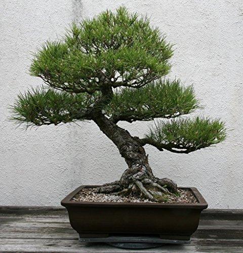 15 Seeds Pinus Thunbergii (Japanese Black Pine) (Black Pine Bonsai Tree Seeds)