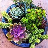 100 seeds/pack Mini Cactus plant Mixed Succulent Flower seeds of garden flowers Rare Sempervivum