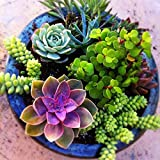 100 seeds/pack Mini Cactus plant Mixed Succulent Flower seeds of garden flowers Rare Sempervivum
