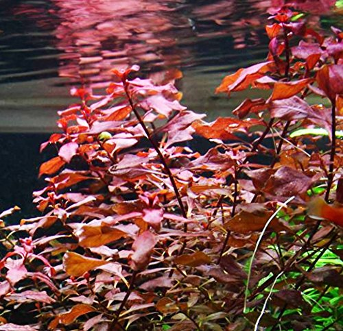 Image of Mainam Ludwigia Repens Super Red Freshwater Plants Bundle Tropical Aquatic Plant Decorations