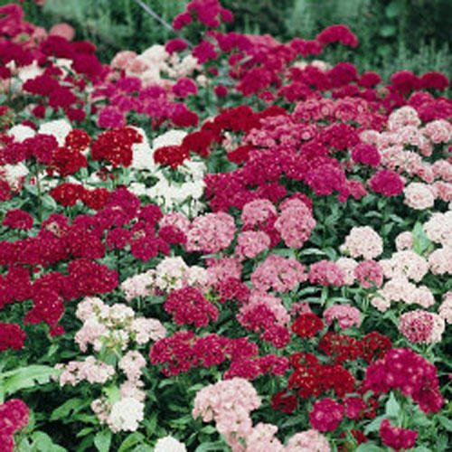 Non GMO Bulk Sweet William Seeds - Tall Double Mix Dianthus barbatus (1 oz) Dianthus Barbatus