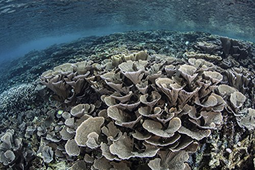 Fragile Earth Poster (Fragile corals grow in shallow water in Raja Ampat Indonesia This region is known as the heart of the Coral Triangle and houses the highest marine biodiversity on Earth Poster Print (34 x 22))