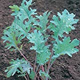 Kale Seeds - Red Russian Heirloom - Non GMO 1,000 Seeds by Hill Creek Seeds