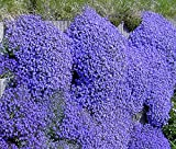 NEW! 50+ AUBRIETA BRIGHT BLUE ROCK CRESS FLOWER SEEDS / PERENNIAL / DEER RESISTANT