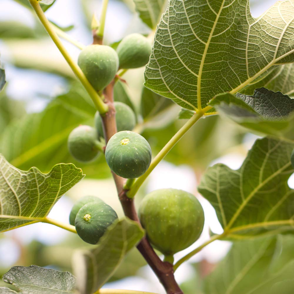 Perfect Plants Celeste Fig Tree Live Plant, 1 Gallon, Includes Care Guide by PERFECT PLANTS (Image #3)