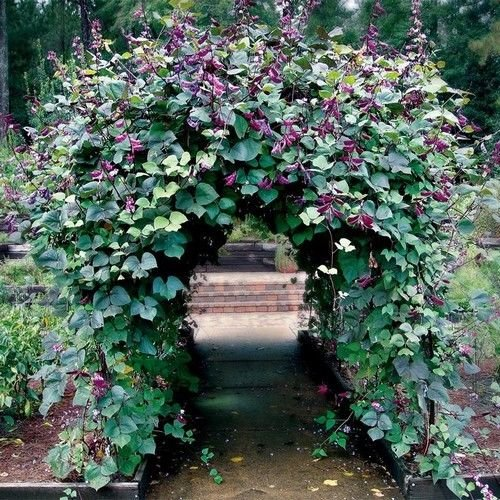 Hyacinth Bean Red Leaved Vine Seeds (Dolichos Lablab) 10+Seeds