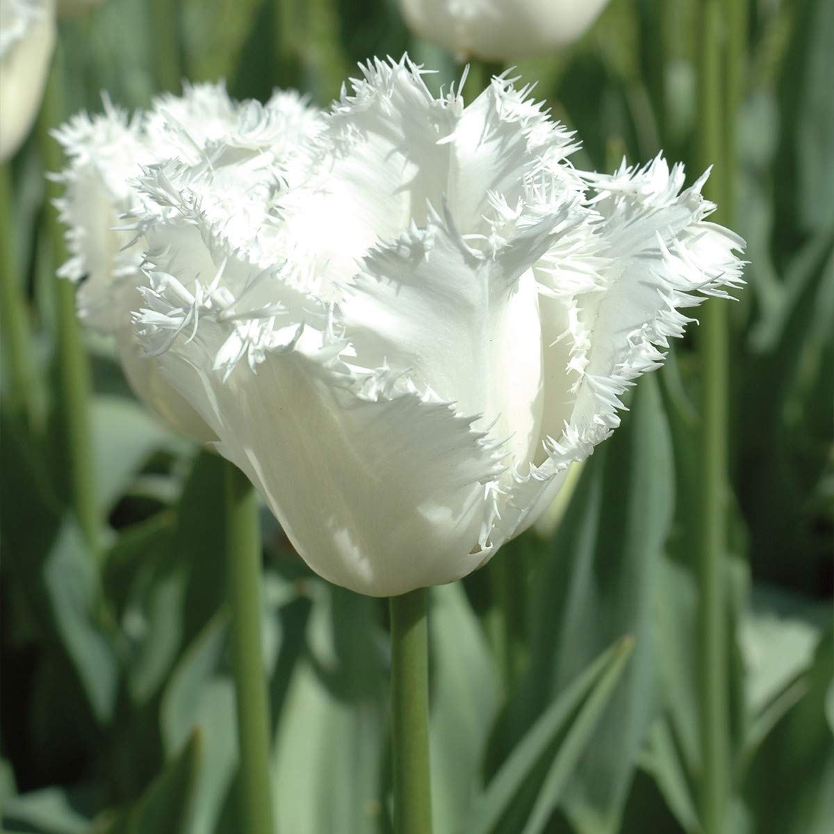 Burpee Honeymoon Tulip | 10 Large Flowering Fall Bulbs for Planting, White by Burpee