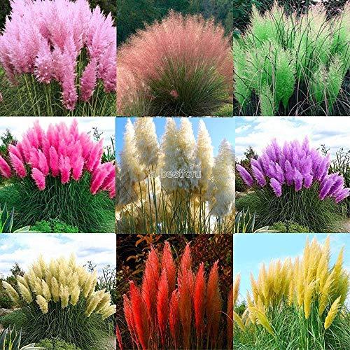 Iekofo Seed house - 500/1000 Rare Pampas Grass Cortaderia Selloana Seeds Perennial Plant ()
