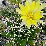 Mammillaria longimamma Cactus Cacti Succulent Real Live Plant