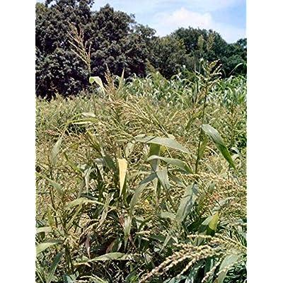 Brown Top Millet Seeds - Makes an abundance of seed!!!!!!(300 - Seeds): Garden & Outdoor