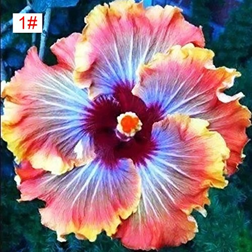 (100pcs Japanese Hibiscus Seeds 5 kinds Hibiscus Rosa-sinensis Flower Seeds Hibiscus Tree Seeds for Flower Potted Home Garden(1#))