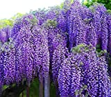 "Spectacular Blue Moon Wisteria Tree Plant 8-11"" Tall Potted Plant Fragrant Flowers Attracks Hummingbirds"