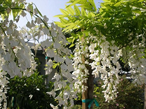 White Chinese Wisteria Vine, 10 Seeds